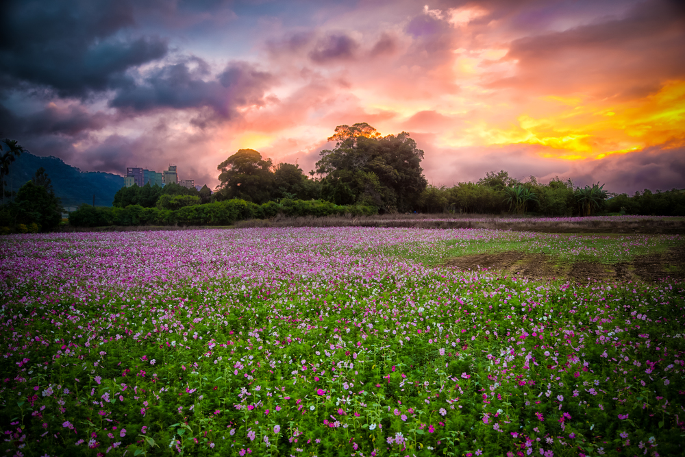 - A Sea of Flowers in Daxi, Taiwan near the burial place of Chiang Kai Shek (大溪慈湖附近)
