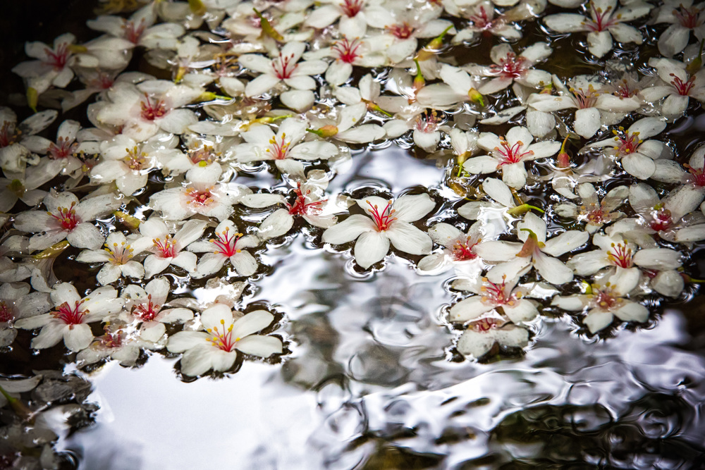 Tung Blossoms in a small mountain stream.