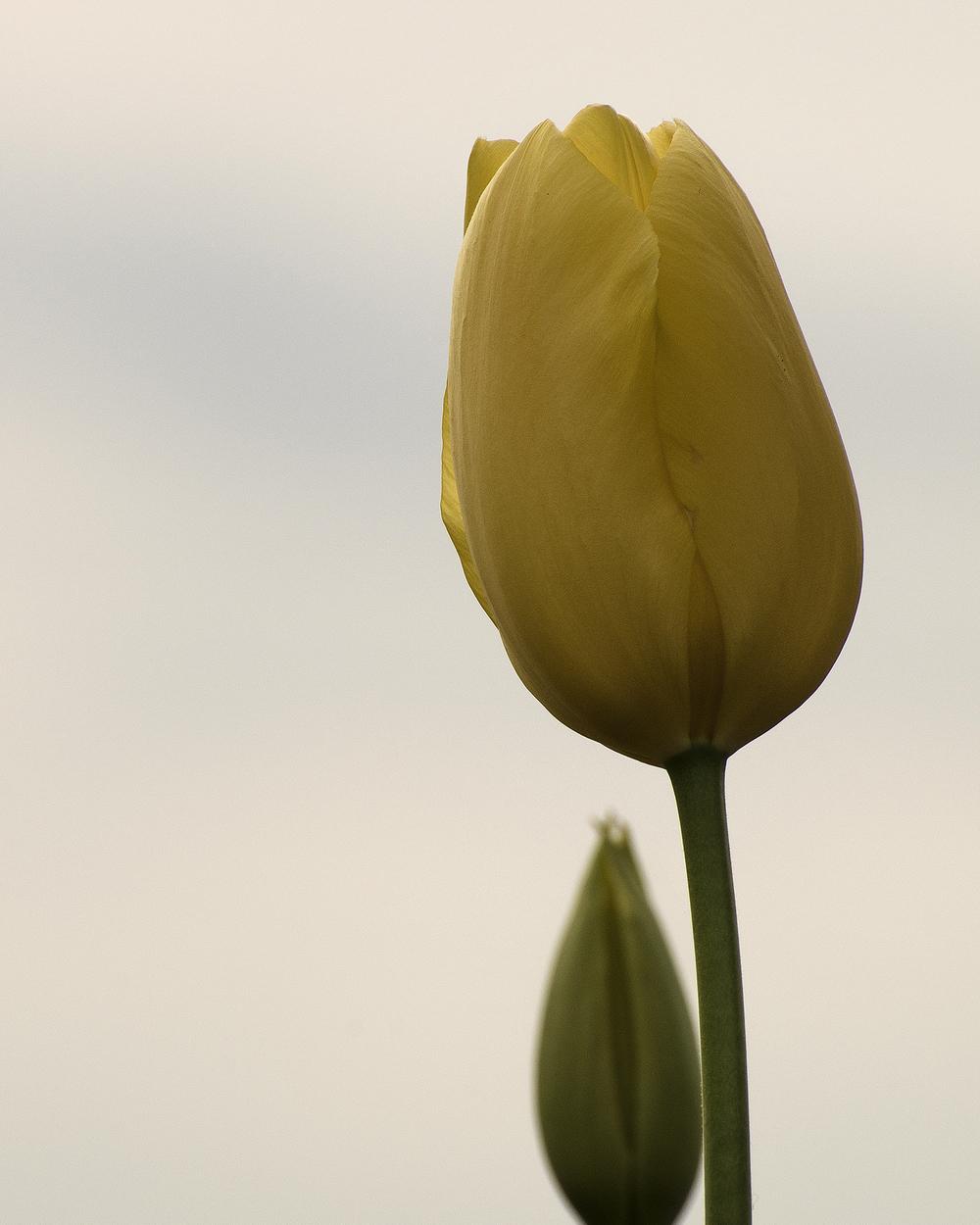 tulipani di lago 7739.jpg