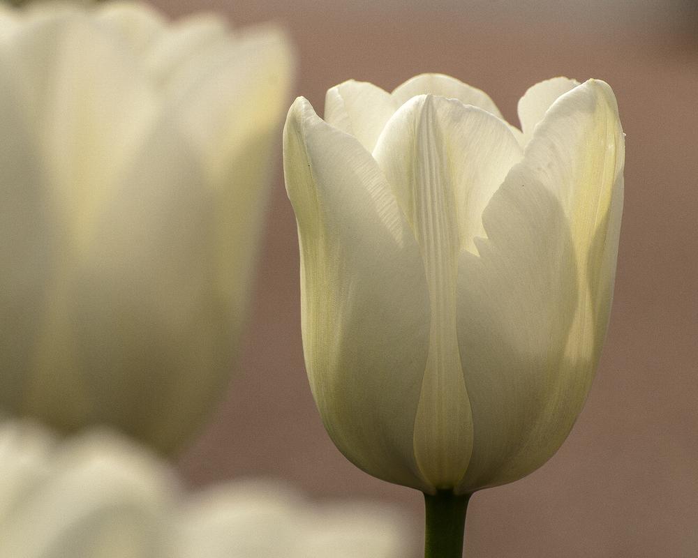 tulipani di lago 7720.jpg