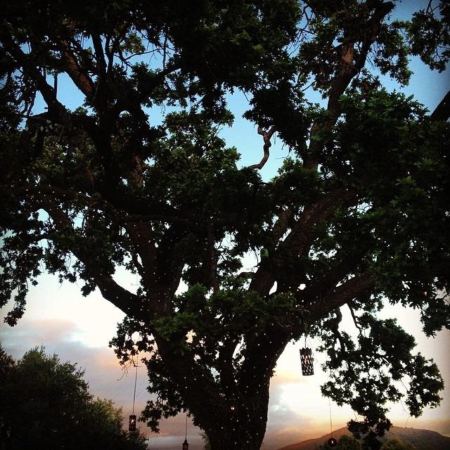 courtneyrosen :     #sunset #tree #californiadreaming (at Ojai Valley Inn & Spa)