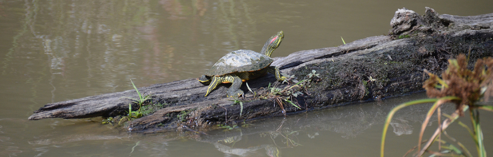 Huntley Meadows - Oct 10, 2015 - Red-eared slider (Trachemys scripta elegans)