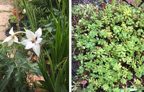 Acidanthera (above) blooms all summer. The mystery ground cover may be sedum.