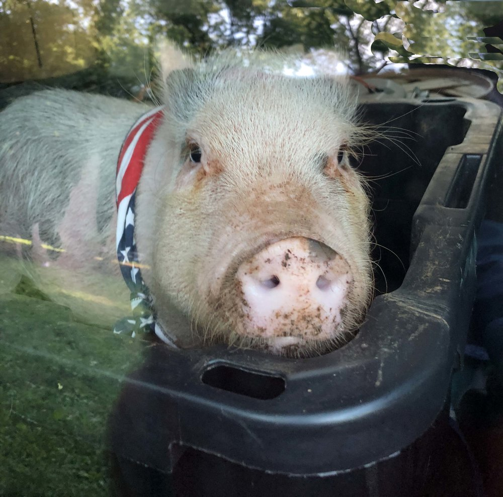 A pig, no relation to Rocklands fare, was the star attraction of Squeals on Wheels petting zoo.