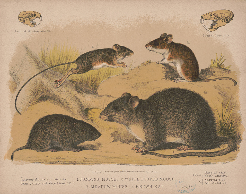 "Lithograph of ""gnawing animals or rodents"" [1874]. Library of Congress Prints and Photographs Division. LC-DIG-pga-12053."