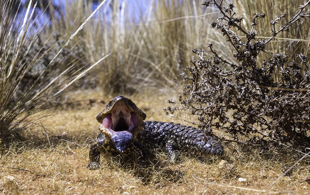 shingle back Lizard trying to look fierce, Central Australia (c) Claudia Jocher 2015