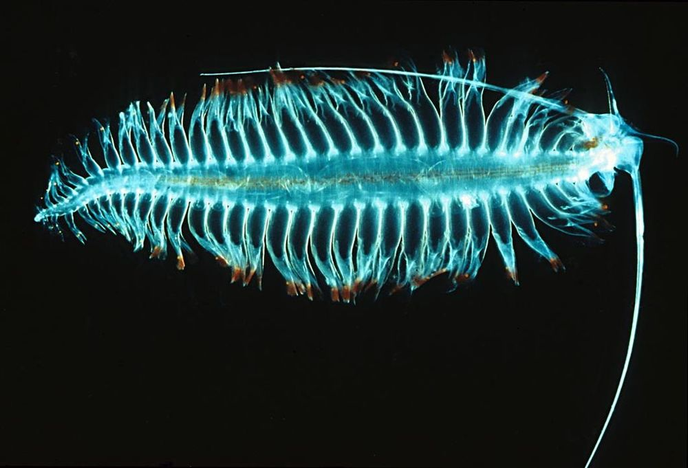 Tomopteris -- bioluminescent deep sea plankton. Pic by  Uwe Kils