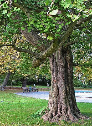 Gingko Biloba tree. Pic by  Darkone