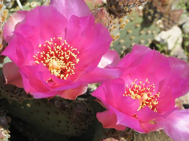 Pink blossoms of Prickly Pear Cactus. Picture by Spirituscanis