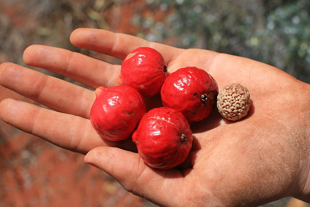 Central Australian quandongs and seeds. Rainforest quandongs are blue. Pic by  JennyKS .