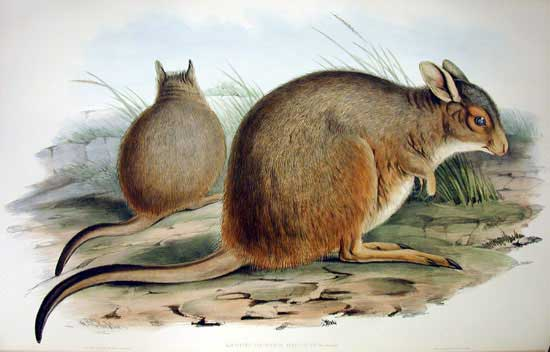 "The Mala. By  John Gould  - ""Mammals of Australia"", Vol. II Plate 57"