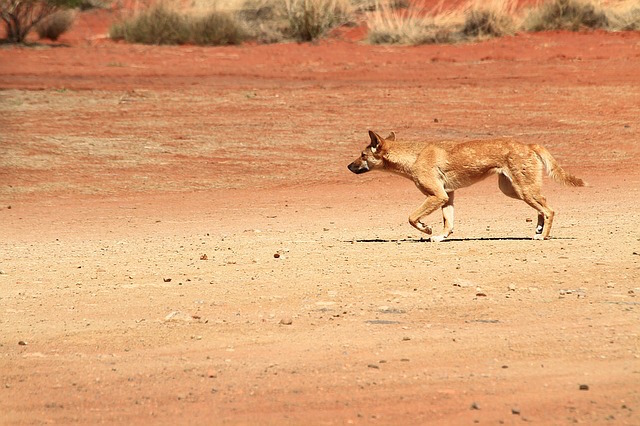 Dingo photographed by  Jacqueline Wales .