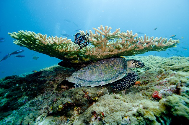 Superb visibility is possible in the right season, diving in the Maldives. Photo by  kormandallas .