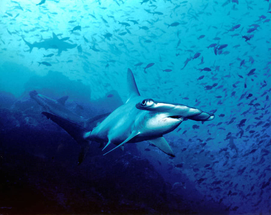 Hammerhead sharks at Cocos Islands, Costa Rica. Photo by  Barry Peters  via wikimedia.