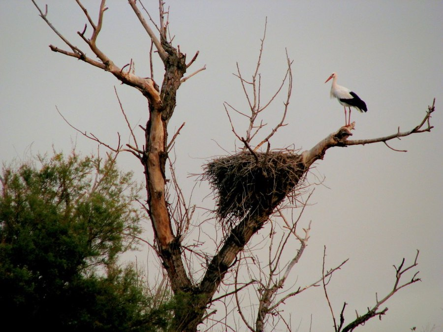 Stork and its nest in Madrid, Spain. Photo by  Bea .