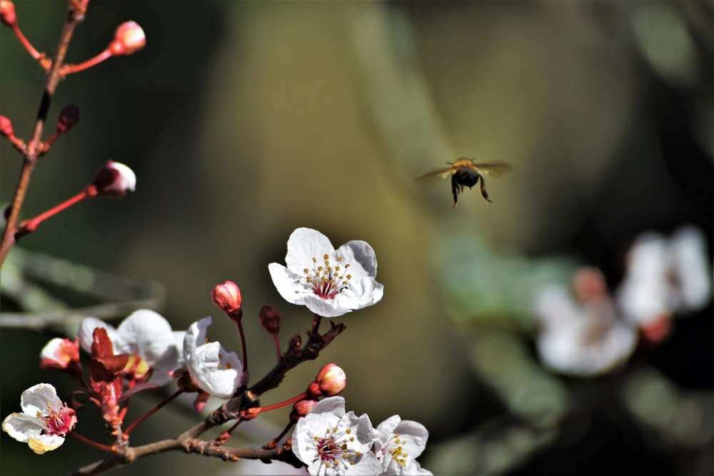 I understood why the Japanese have a festival to celebrate the blossoms. Pic by  Ken Treloar .