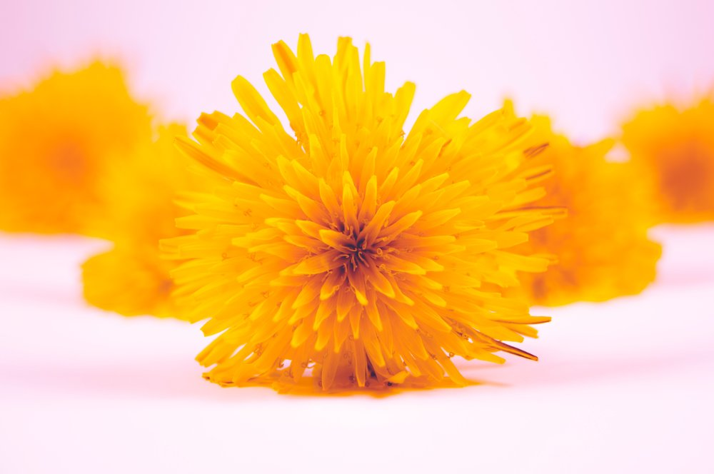 Photo of dandelion flowers by  Timothy Dykes .