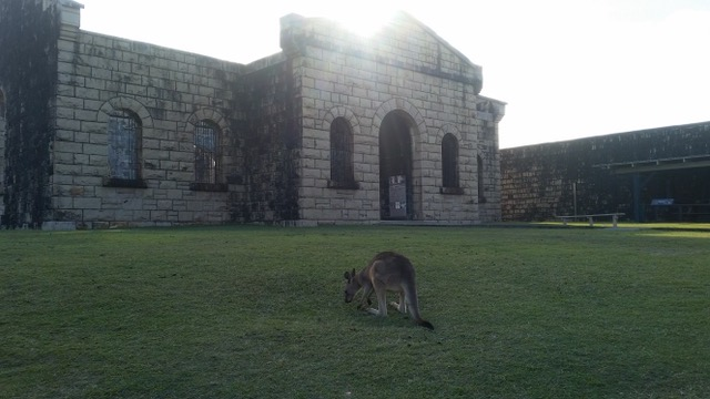 A wild kangaroo cropping the grass at Trial Bay Gaol. Photo by author.