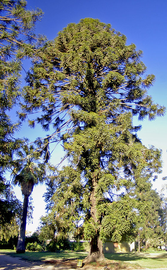 Mature Bunya Pine. This one photographed at Wagga Wagga by  Bidgee .