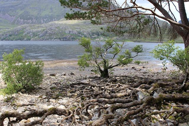 Intertwining roots at Loch Ness, Scotland. Photo by  grafik_zfk .