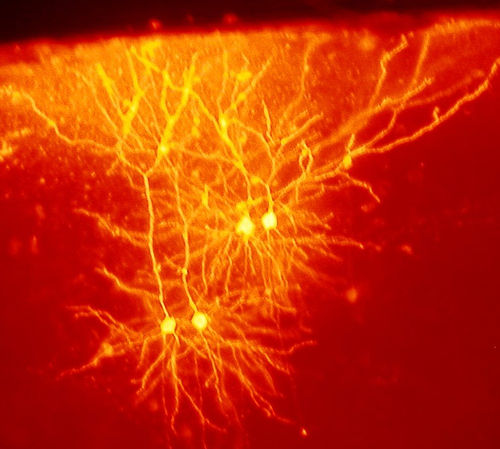 Neurones in a mouse brain. Photo shared by  Neurollero .