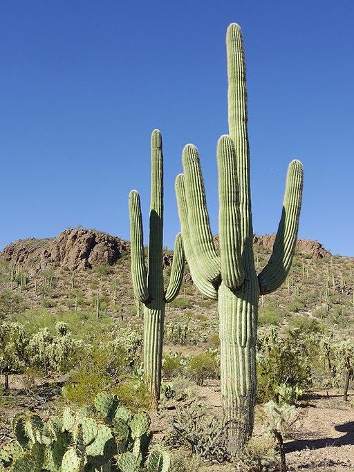 Saguaro cacti near Tucson, Arizona. Photo courtesy  WClarke .
