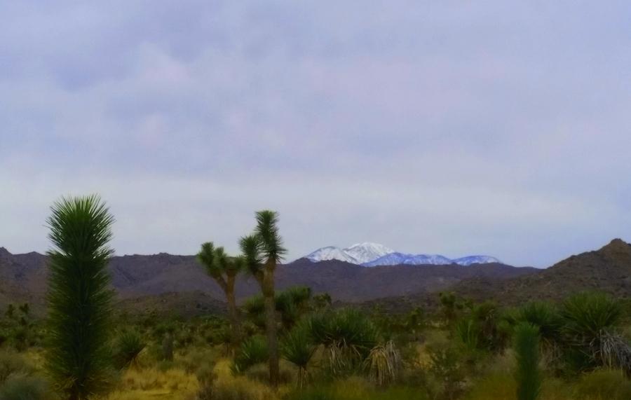 View of snowy peak from Joshua Tree National Park. Juvenile tree foreground. ©Claudia Jocher 2018.