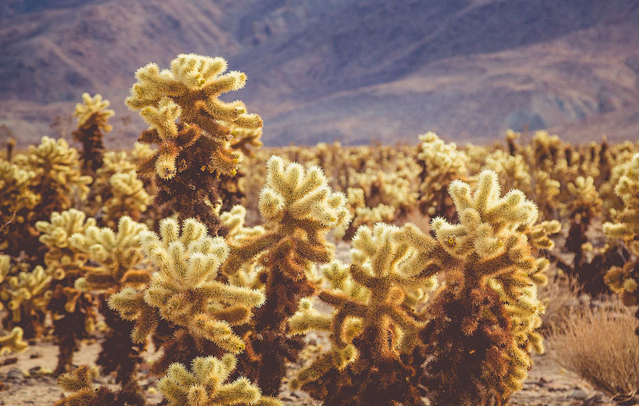 Cholla cactus at Joshua Tree National Park. Photo by  Tony Webster .