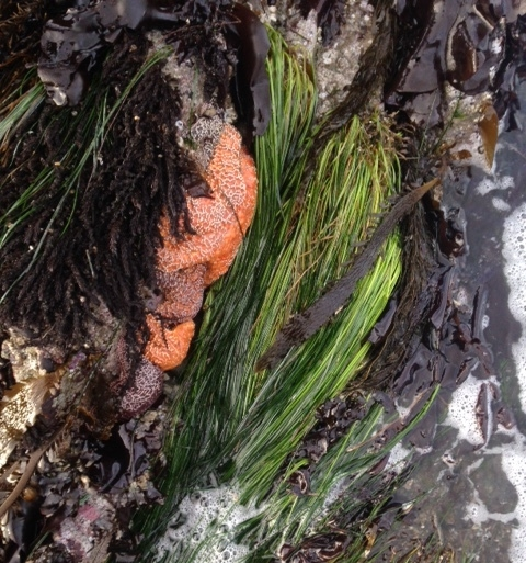 A cluster of healthy Ocre sea stars at low tide. Photo: R.Moore