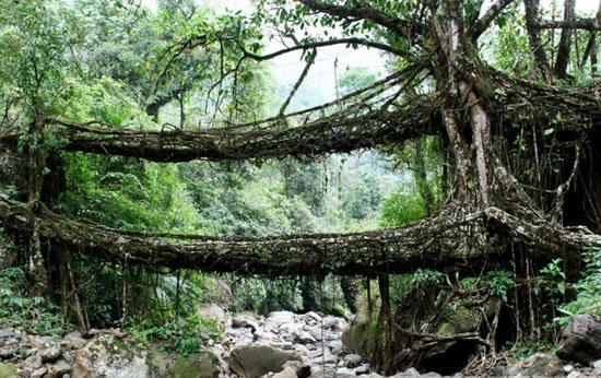Los  puentes vivientes de India , construídos con las raíces del árbol del caucho.