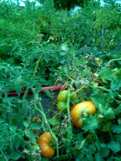 Tomates en nuestra huerta