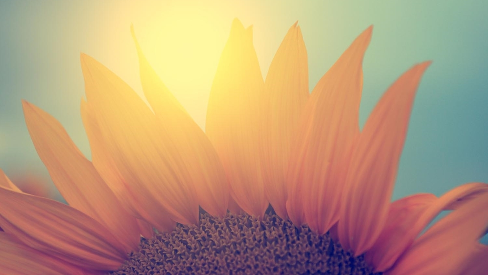 Calming meditation images of sunflower in a field