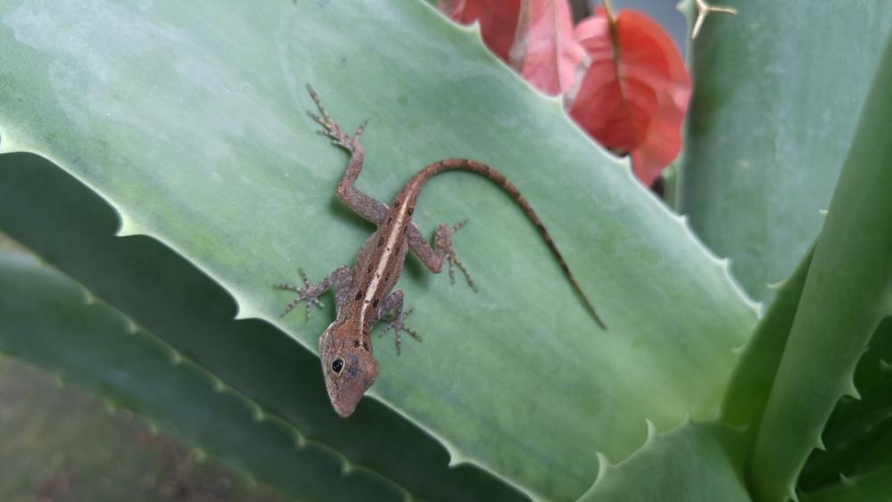 Anolis cristatellus,   Culebra.