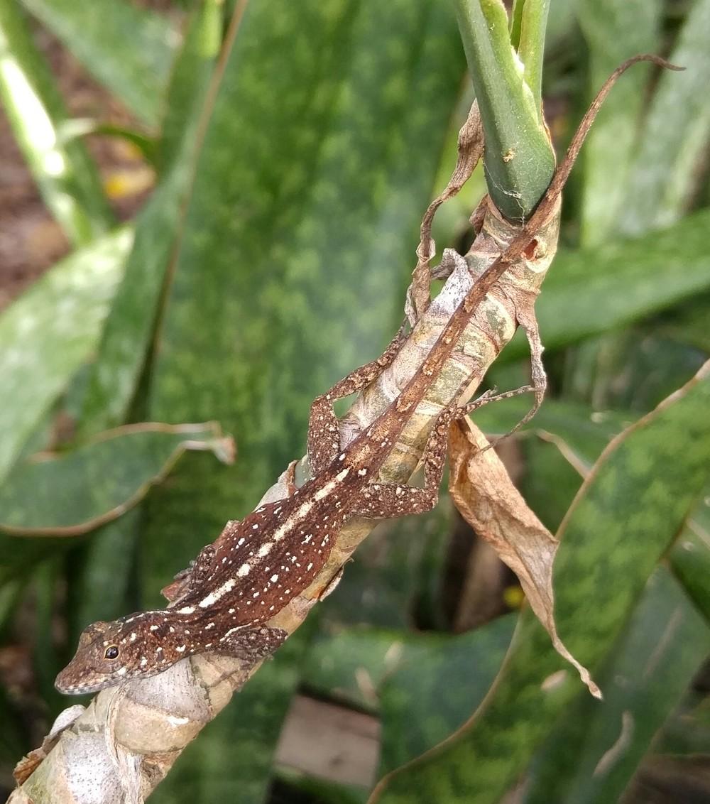Anolis cristatellus,   Culebra