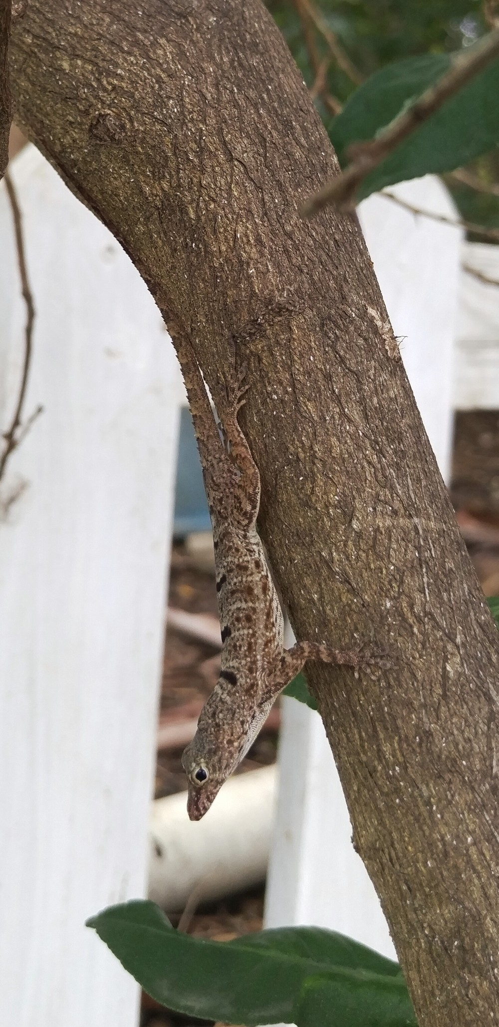 Ctenonotus stratulus, Culebra