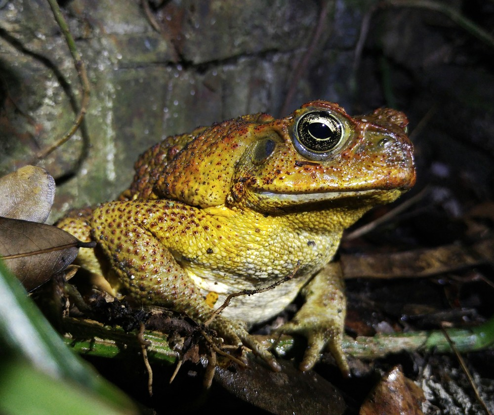 Marine Toad, Rhinella marina. this large toxic toad was hanging out near the side of the dark road.