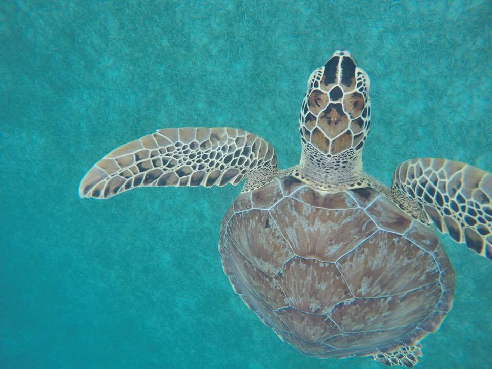 Green Sea Turtle. Photo by Lauren Vasquez.