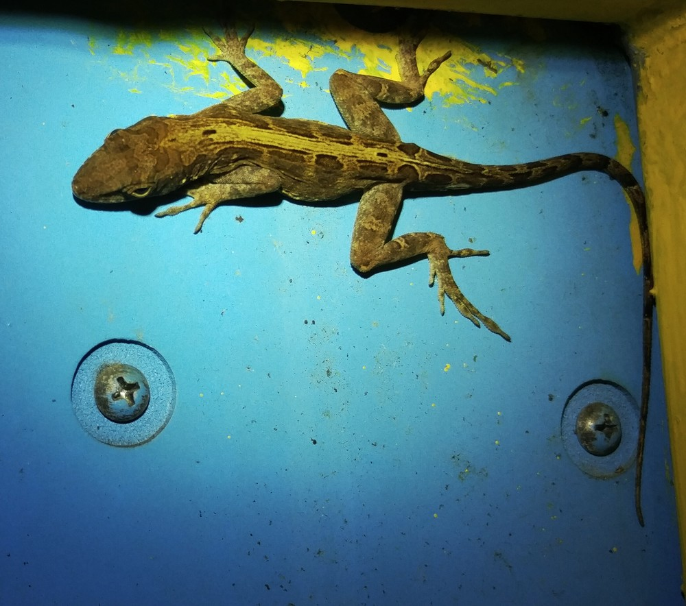 Puerto Rican Crested Anole sleeping behind a sign,Anolis cristatellus