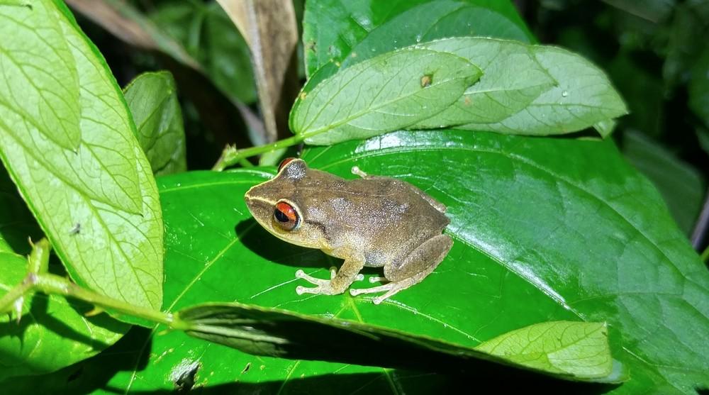 Red-eyed Coqui,   Eleutherodactylus antillensis