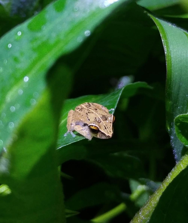 Common coqui, Eleutherodactylus coqui