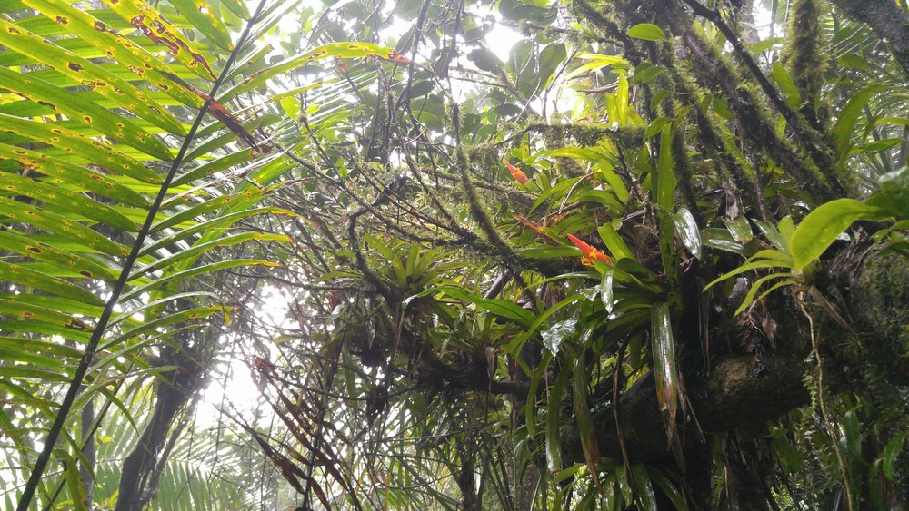 Bromeliads in Bloom,El Yunque National Forest