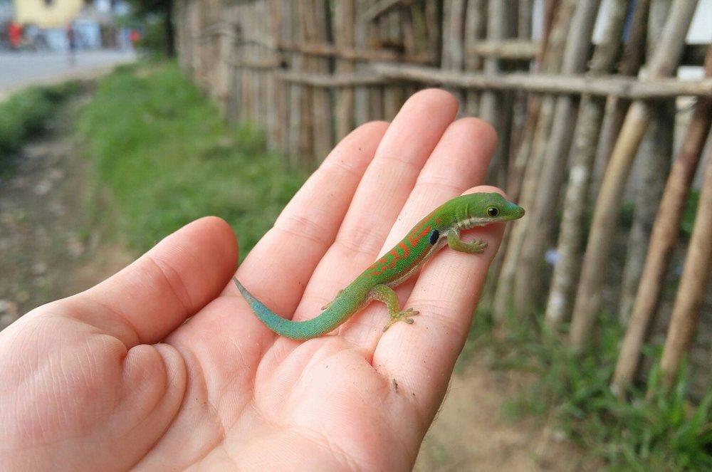 Peacock Day Gecko (Phelsuma parva),Ranomafana.