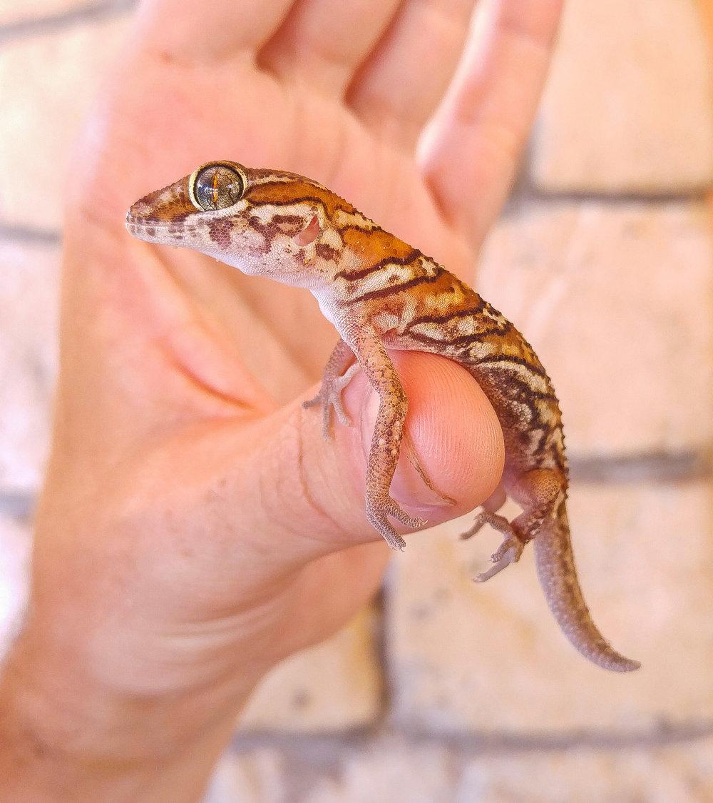 Madagascar Ground Gecko, ( Paroedura picta ). This gecko was found sleeping in a basket.
