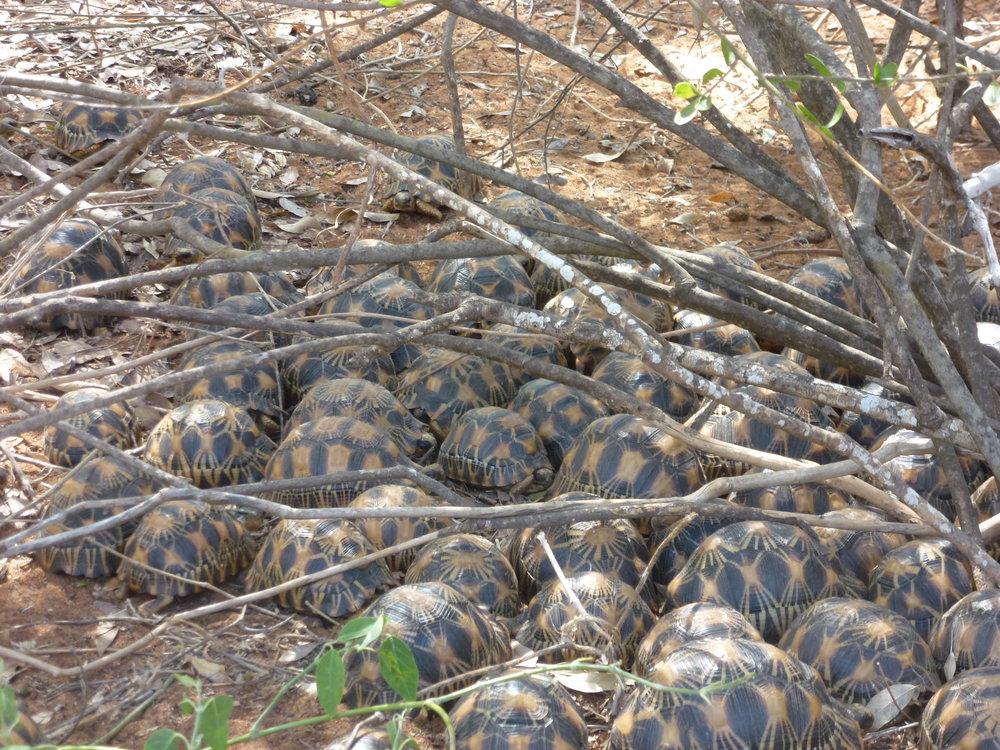 Tortoises finishing up lunch.