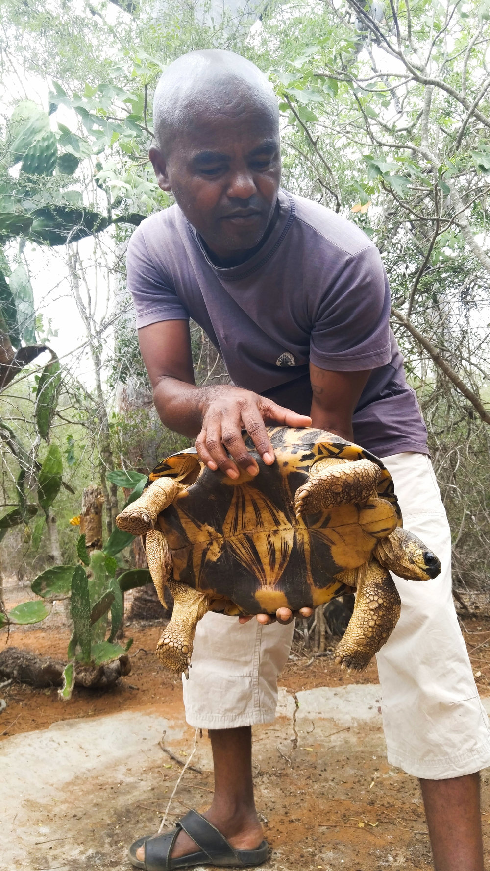 Our tortoise village guide shows us an adult male Radiated Tortoise from a breeding group. Notice the bottom is concave - the male's shell is shaped like this for mounting the female.  Astrochelys radiata.