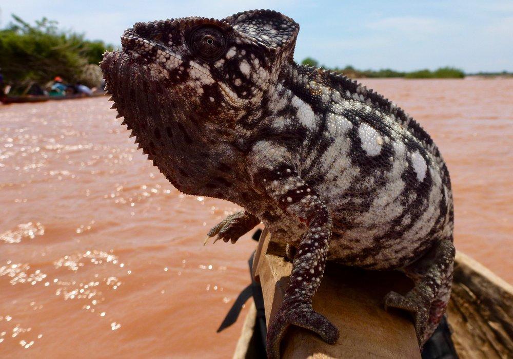 Oustalets's chameleon, Furcifer oustaleti.