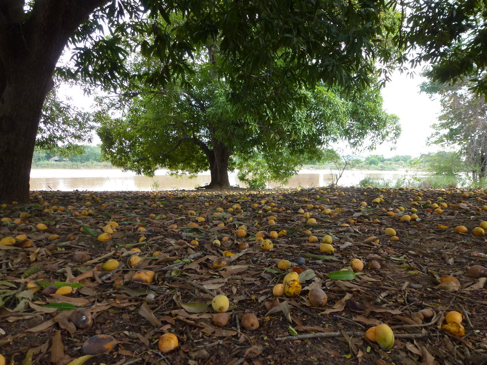 The mango grove where we were camped. When the wind blows, you quickly learn to shield your head because the mangos fall hard. This mango grove was filled with reptiles.