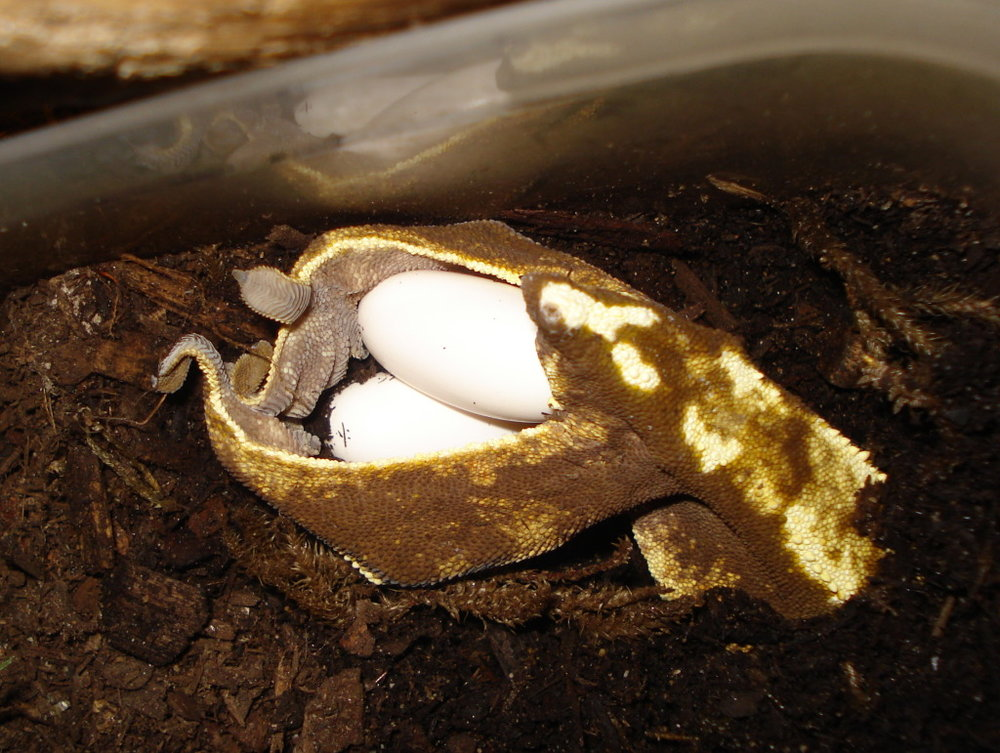 Female laying eggs.