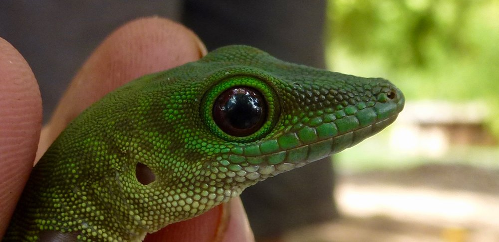 Giant Day Gecko, Phelsuma madagascariensis. One two species of phelsuma seen here.