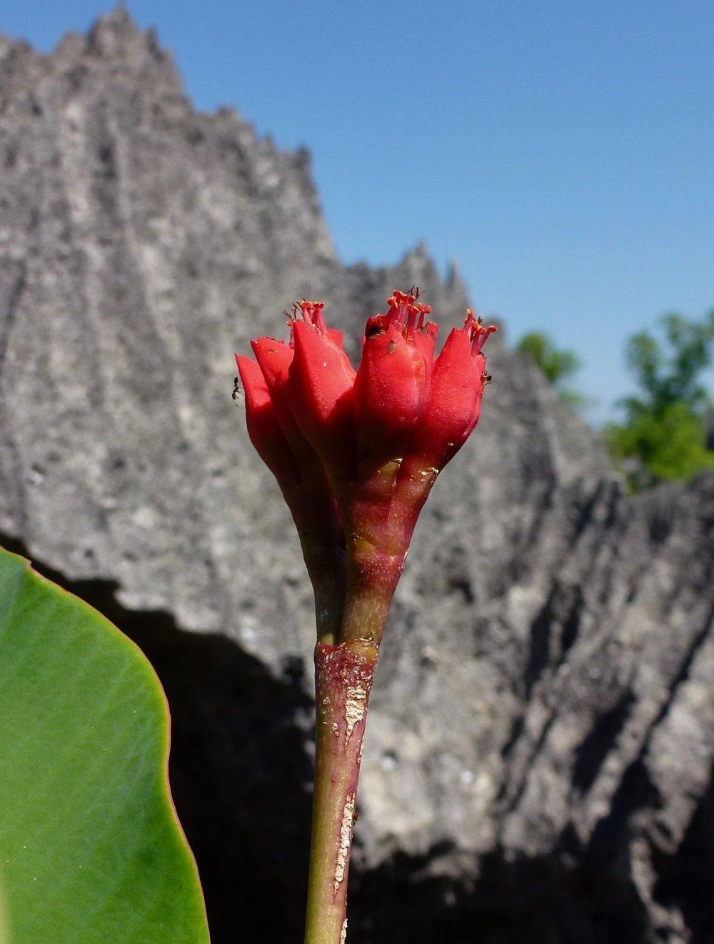 Euphorbia blooming